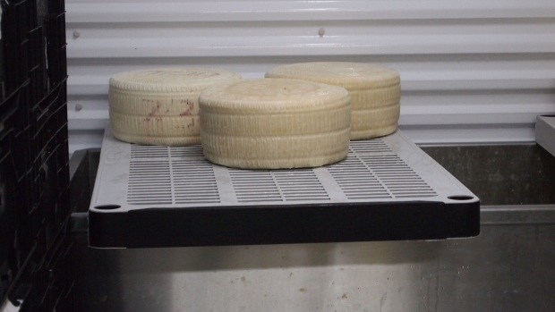 Here are some Pecorino that are air drying after their time in the brine tank