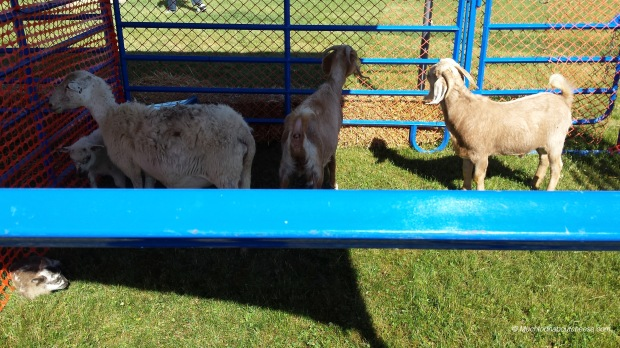 A couple of guilty looking goats (they were trying to eat the plastic fencing)