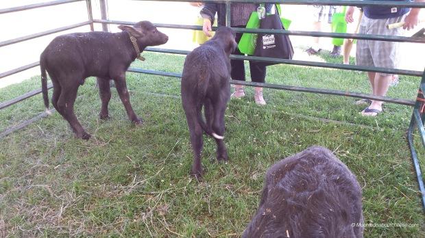And a first for me...Ontario Water Buffalo Calves!